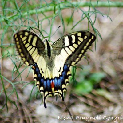 I Papilionidi - farfalle meravigliose
