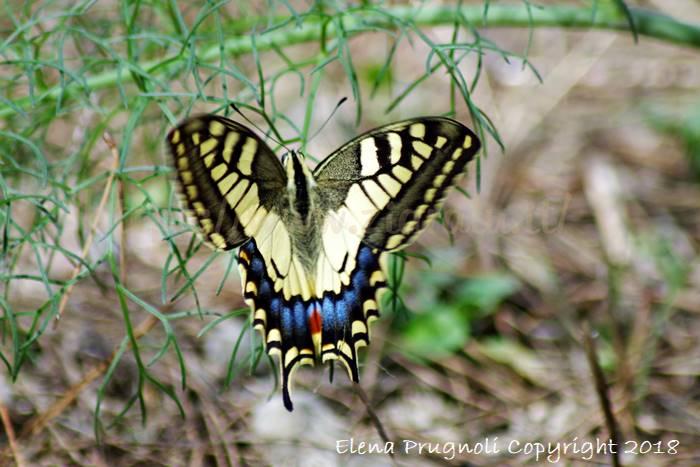 I Papilionidi